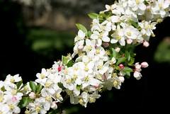 Crabapple Delight (Tyler Warren) Tags: flower macro tree photography 300 alpha maxxum crabapple a300 sonyalpha300 minoltaaf35105