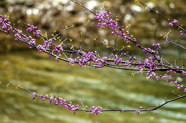 Versailles State Park - Redbud Tree - April 26, 2014
