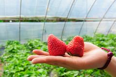 DSC_9861 () Tags: china strawberry beijing strawberries   pick  nikond90 tokinaaf1228mmf4