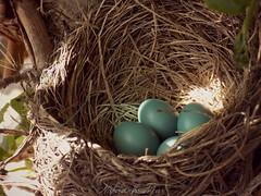 Robin's nest (Explored) (NaturewithMar) Tags: bird robin nest american eggs