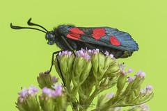Zygaena (Chencho Mendoza) Tags: macro tamron zygaena lepidópteros zygaenidae chenchomendoza