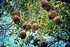 #Lookup (mostaphaghaziri) Tags: tree look birds nikon flickr d lookup friday nests 7200 flickrfriday d7200