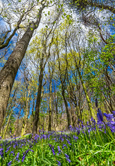 Bluebells (technodean2000) Tags: uk trees bluebells wales port woods nikon south talbot lightroom margam d610