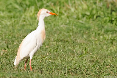Cattle Egret (Bubulcus ibis) in breeding plumage (s_uddin59) Tags: hawaii oahu cattleegret kualoaregionalpark