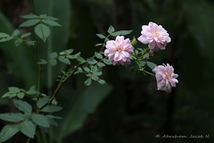 From the garden - 10 (Abraham Jacob N) Tags: india flower nature rose canon kerala kottayam threeroses canon700d