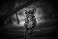 B&W portrait IV. (Tams Szarka) Tags: blackandwhite dog pet nature animal forest puppy outdoor running boxerdog boxer
