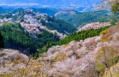(DSC_5729) (nans0410(busy)) Tags: japan cherry outdoors temple scenery blossom  sakura nara kansai  yoshino       kimpusenji  kimpushrine yoshinomikumarishrine   kinkiarea  yoshinomountain