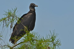 Black Vulture (nebulous 1) Tags: bird nature fauna nikon florida evergladesnationalpark blackvulture evergladesnp nebulous1
