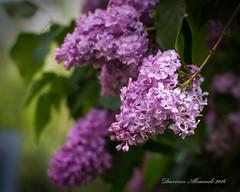Lilac flower. (Dariusz A. - Poland) Tags: plant flower field garden 50mm spring nikon blossom outdoor g lilac nikkor f18 depth afs swm d7100