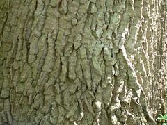 treefoot (achatphoenix) Tags: old treetrunk ostfriesland arbre baum tronc baumstamm eastfrisia treefoot