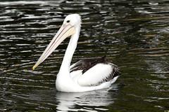 Juvenile Pelican (Merrillie) Tags: sea nature water animals fauna bay nikon scenery waterfront wildlife australia pelican views nsw brisbanewater woywoy d5500 nswcentralcoast centralcoastnsw