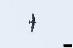 White-throated Needletail (Hirundapus caudacutus) (Dave 2x) Tags: inflight taiwan swift whitethroated needletailedswift needletail hirundapus leastconcern whitethroatedneedletail hirundapuscaudacutus caudacutus spinetailedswift tianliaoyang