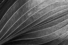 Natural Lines (henrik_thiele) Tags: lines contrast struktur structure sw minimalism hosta kontrast linien minimalistisch