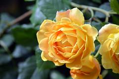 Yellow Rose (tonny.froyen) Tags: flowers flores flower macro fleur beautiful fleurs garden botanical petals pretty blumen petal stunning bloom blooms fiori blomst blomster molde picoftheday floweroftheday flowermagic flowerslovers rbnett flowerstagram flowersofinstagram