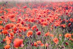 Campo de primavera (Mahandeep Singh) Tags: flores primavera sol brisa amapolas