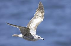Female Gull (dcnelson1898) Tags: california outdoors photography coast nikon highway1 pacificocean fortbragg mendocinocounty