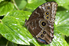 Butterfly 2016-63 (michaelramsdell1967) Tags: light plant color detail macro green love water beautiful beauty animal animals closeup butterfly bug garden insect hope spring nikon natural vibrant butterflies vivid insects bugs zen upclose natue