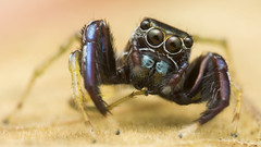 Silly (zleng) Tags: iris macro cute nature spider eyes arachnid jumpingspider macroshot macrophotography naturecloseup macrodreams