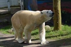 Eisbr Kap im Tierpark Neumnster (Ulli J.) Tags: germany deutschland zoo polarbear tyskland allemagne ijsbeer duitsland schleswigholstein eisbr neumnster isbjrn ourspolaire tierparkneumnster