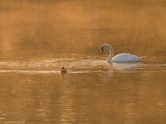 Mute Swan & Mallard at dawn (Tony McLean) Tags: muteswan naturephotography eastyorkshire wildlifephotography tophilllow nikond4 nikon500f4gvr 2016tonymclean