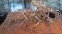 Protoceratops (Roamer61) Tags: dinosaur prehistoric fossils museum amnh nyc