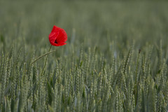 Lonely Poppy (FocusPocus Photography) Tags: red flower rot field wheat poppy blume mohn mohnblume weizen weizenfeld
