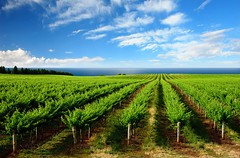 One Tree Hill Vineyard (jyotsana_mehta) Tags: travel summer sky sun green industry tourism nature beauty grass clouds rural season landscape outdoors vineyard spring vines afternoon wine farm south scenic australia rows stunning adelaide shiraz agriculture grape rolling viticulture chardonnay