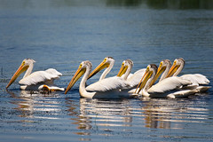 Pelican nation (LastBestPlace) Tags: americanwhitepelican