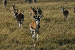 Springbok (alisdair jones) Tags: africa park grass animals antelope namibia etosha springbok ef70200mmf28lisusm2xiii