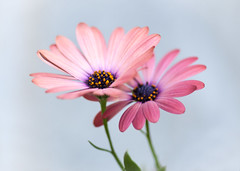 Aster Aster (lclower19) Tags: pink two orange plant flower yellow flora purple pair aster