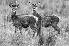 The Stare (charliefox1972) Tags: scotland stag wildlife hind reddeer