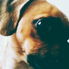 #dog #kiev #ukraine #pug #girl #luna #friend #friendly (stephannilaev) Tags: dog girl friend pug ukraine luna friendly kiev