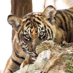 Peek-A-Boo (ToddLahman) Tags: canon teddy tiger nelson tigers sumatrantiger joanne safaripark escondido canon100400 tigercub tigertrail sandiegozoosafaripark canon7dmkii
