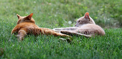 Silly boys (Kerri Lee Smith) Tags: summer cats buddies brothers jimmy lawn siblings tabbies felines mack gingers gingercats orangecats orangetabbies creamcats buffcats