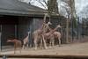 Wilhelma March 2010 230 (huskie1980) Tags: penis zoo child stuttgart kind giraffe speckled enclosure erect wilhelma snad gehege gefleckt erigiert erigierterpenis