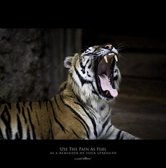 120 Quotes project | Quote 27 (Musaad (CJ)) Tags: wild 120 animal project cub photo pain flickr power quote tiger contest group creative photographs national rawr strength ideas roar 60 geographic fuel sumatran facebook musaad azzahrani
