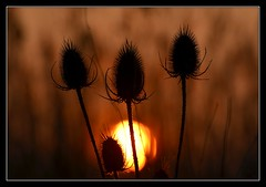 Kiss me goodnight..... (Levels Nature) Tags: light sunset sun nature somerset teasel teasels rspb greylake saariysqualitypictures