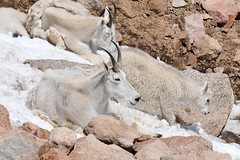 Chilling Out Mountain Goat Style (NaturalLight) Tags: mountain snow evans colorado mt goat mount chilling patch