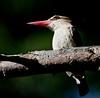 martin pescatore, kingfisher (margit-luitpold2005) Tags: africa tanzania kingfisher margit martinpescatore anawesomeshot