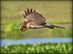 Harrier Hunting (billkominsky ) Tags: green nature birds hawk wildlife wetlands prey cay hawks spectacularanimals wingedwonders birdperfect haeeier