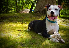 Meeka (GoneWiththeWind5402) Tags: blackandwhite dog smile puppy fur canine rope pitbull paws pant