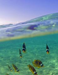 Kahalu'u Beach (Explored) (bodiver) Tags: ambientlight fins butterflyfish overunder freedivers splitshot orcadivers