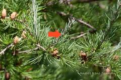 Tamarack Cones-2-Edit.jpg (Andre Reno Sanborn) Tags: cones americanlarch larixlaricina hackmatack tamaracktree