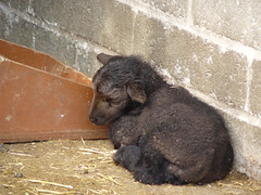 Manx Loughtan day old lamb (CHCP) Tags: sheep lamb manx rarebreed croxteth homefarm liverpooluk manxloughtan croxtethfarm