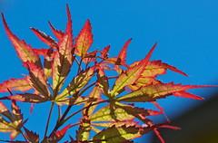 Autumn leaves (Deb Jones1) Tags: red macro beauty leaves canon garden botanical outdoors leaf maple flora flickrduel debjones1
