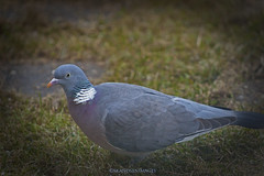 Pigeon (Leifskandsen) Tags: camera summer bird nature norway canon garden fly warm pigeon wing gress leif due bekkestua ornitologi skandsen skandsenimages