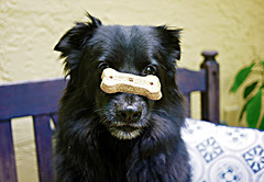 Thanks Molly! (macromary) Tags: dog black nose eyes ears biscuit treat muzzle gooddog
