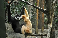 Kiss me you fool (dxd379) Tags: nikon pittsburghzoo gibbon whitecheekedgibbon d5000
