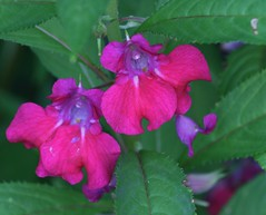 Balsam (lynne_b) Tags: pink flowers green nature floral leaves yard garden petals illinois flora blossoms flowerbed archives blooms mygarden balsam blooming pinkflowers reseeds