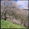 柳家梅園 Plum Blossom garden (Chieh-Yu) Tags: film taiwan hasselblad 南投 台灣 nantou shinyi 信義 攝團 facebookimpro